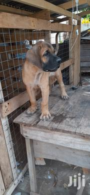 Boerboel Puppies | Dogs & Puppies for sale in Greater Accra, Dansoman
