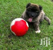 Caucasian Sherpherd Puppies | Dogs & Puppies for sale in Greater Accra, Dansoman