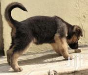 German Shepherd Puppy | Dogs & Puppies for sale in Greater Accra, Tema Metropolitan