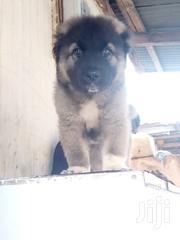 Pedigree Caucasian Shepherd Puppy | Dogs & Puppies for sale in Greater Accra, Tema Metropolitan
