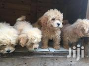 Poodle Puppies for Sale | Dogs & Puppies for sale in Greater Accra, Osu