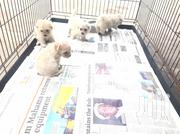 Maltese Puppies for Sale | Dogs & Puppies for sale in Greater Accra, Tema Metropolitan