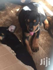 Rott Puppies For Sale | Dogs & Puppies for sale in Greater Accra, Kwashieman