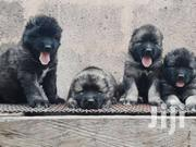 Full Breed Imported Caucasian Puppies For Sale | Dogs & Puppies for sale in Greater Accra, Kwashieman