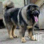 Caucasian Shepherd Puppies Available | Dogs & Puppies for sale in Greater Accra, Achimota