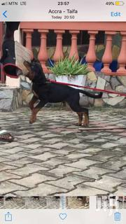 Dog /Puppies For Sale | Dogs & Puppies for sale in Greater Accra, East Legon