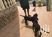 Rottweiler Puppies For Sale | Dogs & Puppies for sale in Greater Accra, Adenta Municipal