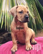 Boerboel Pups For Sale | Dogs & Puppies for sale in Greater Accra, East Legon